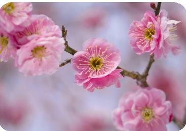 春ですね(イメージ画像梅の花)